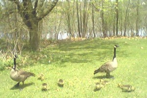 geese-and-babies3