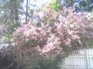 pink-bush