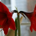 Amaryllis.featured