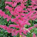Astilbe.FEATURE