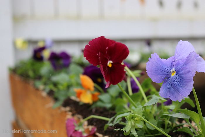 Pansies planted in compost bin