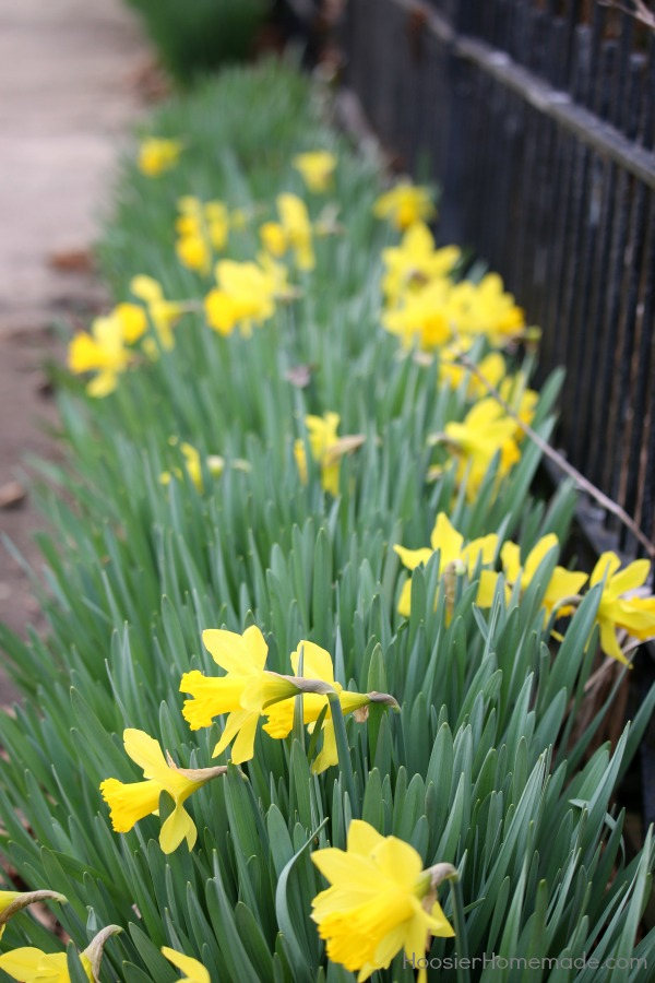 Learn how to Divide and Replant Daffodil Bulbs! It will increase the flowering in the Spring, sturdier stems, and more plants in general!