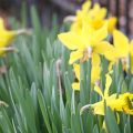 Daffodils.FEATURE