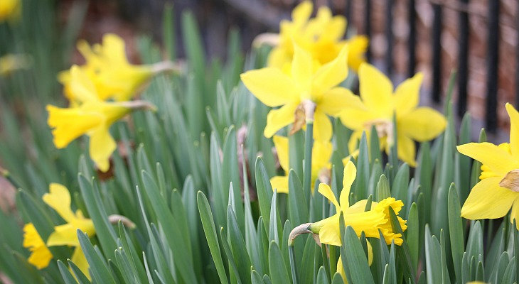 How to Divide and Replant Daffodil Bulbs