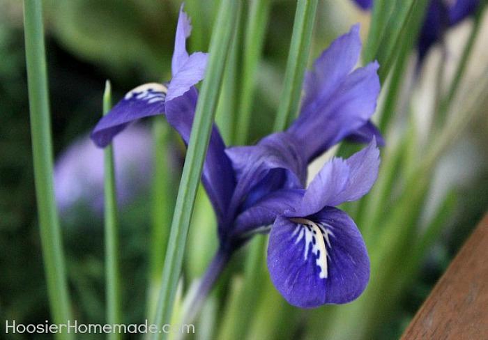 Iris for Easter Flower Basket Centerpiece