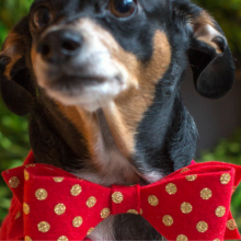 Pet Bow Tie Gift – 100 Days of Homemade Holiday Inspiration