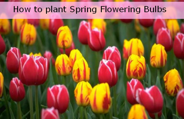 How to plant spring flowering bulbs hoosier homemade mightylinksfo Image collections