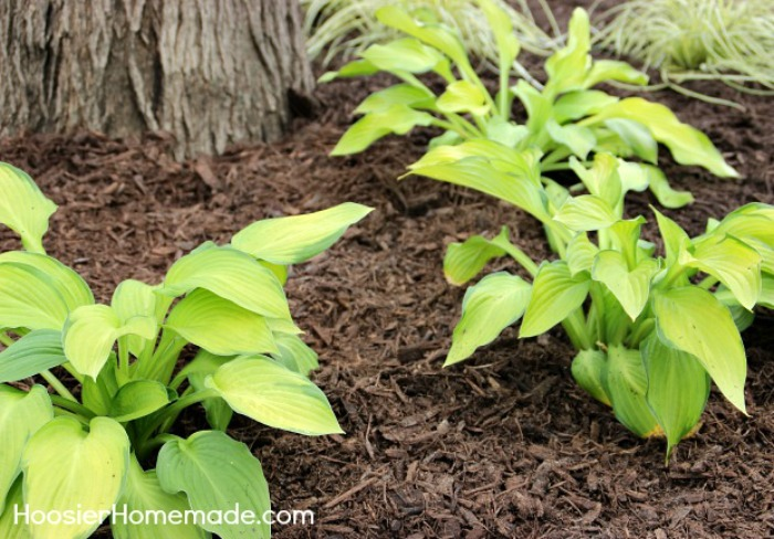 Hosta Plants for shade