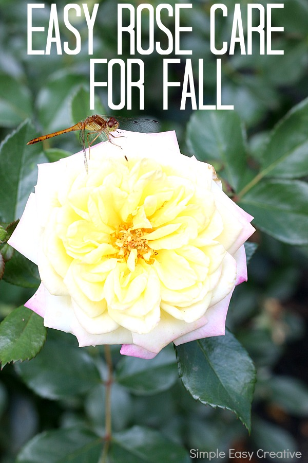 EASY ROSE CARE FOR FALL