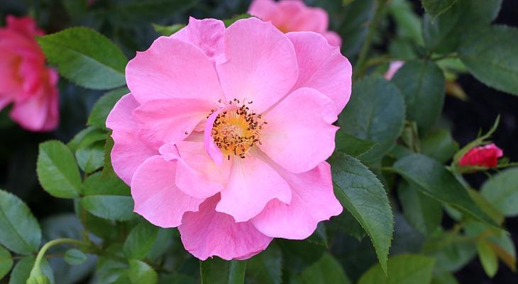Roses In Garden: Summer Care Tips For Roses