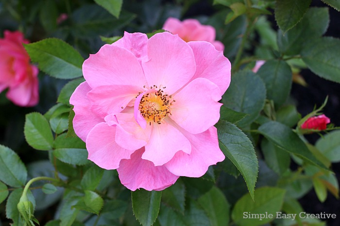 SUMMER CARE TIPS FOR ROSES