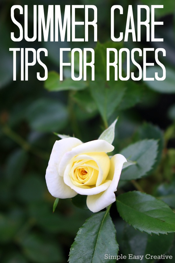 SUMMER CARE TIPS FOR ROSES -- Keep your roses blooming and thriving all summer with these easy tips!