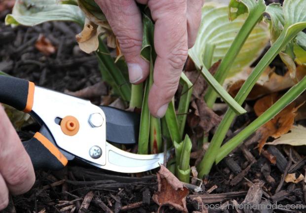 Cut back Perennials for Winter