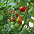 tomatoes.new