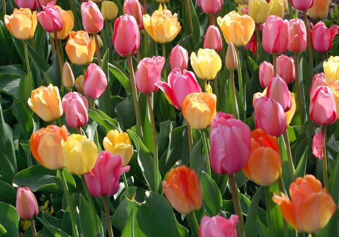 tulips-in-bloom.gardening